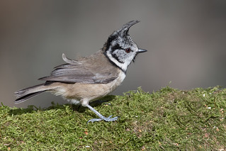 Crested Tit-197