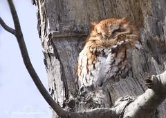 Eastern Screech Owl 6 (martinaschneider) Tags: easternscreechowl owl raptor bird birdsofprey birdofprey redmorph burlington ontario cemetery tree trees