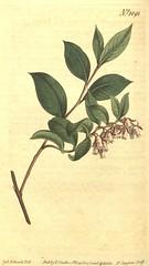 Anglų lietuvių žodynas. Žodis lyonia lucida reiškia Lyonija Lucida lietuviškai.