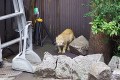 Today's Cat@2017-06-11 (masatsu) Tags: cat thebiggestgroupwithonlycats catspotting pentax mx1