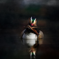 'Miso' (Jonathan Casey) Tags: mandarin duck jonathancaseyphotography norfolk uk nikon d810 400mm f28 vr