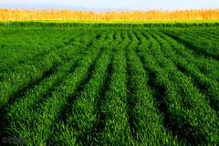 Green Line (Mahmoud R Maheri) Tags: landscape field green reeds maharloo iran crop mountain maharloolake shiraz