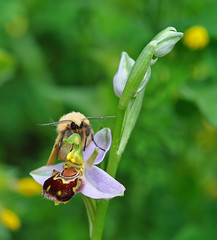 Bee Orchid Pegwell Garden