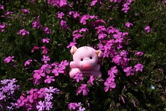 Piglet and Phlox subulata (Ichigo Miyama) Tags: コブタとシバザクラ piglet phlox subulata flower plant シバザクラ phloxsubulata コブタflower コブタ