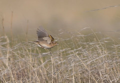 grsp-easterncimarronco-5-26-17-tl-05-cropscreen (pomarinejaeger) Tags: keyes oklahoma unitedstates bird grasshoppersparrow ammodramussavannarum