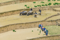 _Y2U9973.0617.Chế Cu Nha.Mù Cang Chải.Yên Bái (hoanglongphoto) Tags: asia asian vietnam northvietnam northwestvietnam life people dailylife terraces terracedfields transplantingseason sowingseeds lifeatvietnam lifeatvietnammountainous hmongpeople cultivation canon flanksmountain canoneos1dx canonef500mmf4isiiusmlens tâybắc yênbái mùcangchải chếcunha ruộngbậcthang mùacấy đổnước ruộngbậcthangmùcangchải mùacấymùcangchải mùcangchảimùađổnước người cuộcsống đờithường cuộcsốngvùngcao cầycấy sườnnúi
