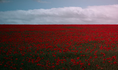 Horizon Red (spiderstreaky) Tags: hill green shadows fresh field horizon delicate lightroom natural sun fields oxfordshire red sunshine poppies cotswold poppy flowers vivid detail summer beauty farm flower evening blue hillside beautiful clouds nature landscape cotswolds delightful countryside