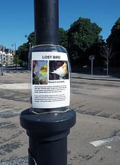 Missing Monty (chrisinplymouth) Tags: bird pet plymouth devon england uk cw69x cockatiel missing 2017 plymgrp city urb