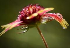 Drops (Kreative Capture) Tags: drop dridropsandsplashes macromondays drops wet drips 7dwf colorful texas indianblanket wildflower macromonday nikkor nikon d7100 macro flower plant