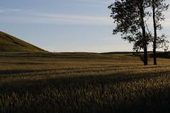 Painting shadows with the sun (J. Roseen) Tags: trees träd fält field shadows skuggor sunlight solsken solljus farming jordbruk skåne skandinavien scandinavia sweden sverige norden nordic