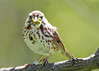 _53F7344 Song Sparrow (~ Michaela Sagatova ~) Tags: canonphotography michaelasagatova songsparrow sparrow
