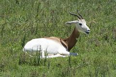 Addra (Dama) gazelle (ucumari photography) Tags: ucumariphotography nc north carolina zoo june 2017 addra gazelle animal mammal nangerdama dsc8068 ungulate specanimal