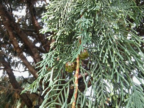 Cupressus × notabilis 20170625_171413