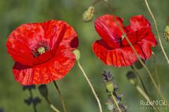 red spring (Rubén Gil) Tags: spring flor flower flores floracion primavera amapolas