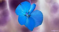 light blue petals (archgionni) Tags: natura nature fiori flowers petali petals blu azzurro lightblue macro christiangroup