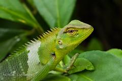 Green forest lizard @ Sinharaja rain forest, Sri Lanka (NORDIC Lightbeams) Tags: calotescalotes ed40150mmf28 greenforestlizard olympuszuiko schönechse sinharajaregenwald southwest srilanka sägerückenagame südwesten mft microfourthirds sinharajarainforest