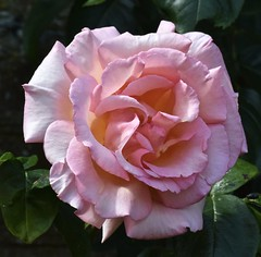 Just a beautiful rose (MJ Harbey) Tags: rose pink ascotthouse nationaltrust buckinghamshire flower garden fullbloom roseinfullbloom