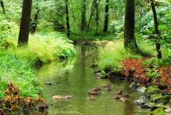 Diving (Rita Eberle-Wessner) Tags: münchen munich nymphenburg park creek bach wald forest grün green grass gras trees ducks bäume enten