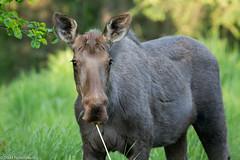 BJ8A7472-Moose (tfells) Tags: moose mammal alaska nature wildlife soldotna