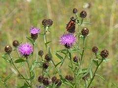 Tortoishell butterfly1 (Steeple Ducks) Tags: butterfly butterflies wiltshire upton scudamore a350 bank embankment verge road