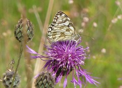 Marbled White butterfly1 (Steeple Ducks) Tags: butterfly butterflies wiltshire upton scudamore a350 bank embankment verge road