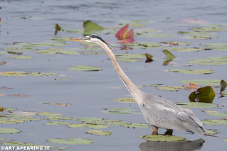 Great Blue Heron And Lily Pads