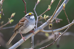 White-throated Sparrow (Jim McCree) Tags: zonotrichialeucophrys whitethroatedsparrow searsportmaine searsisland may 2017