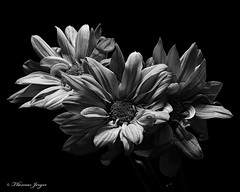 Safety in Numbers 0624 Copyrighted (Tjerger) Tags: nature blackandwhite blackbackground bloom blooms closeup daisies daisy flora floral flower flowers macro plant portrait spring three trio wisconsin safety number natural