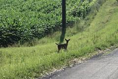 young deer (Jim_McGlone) Tags: deer countryside farmland morning