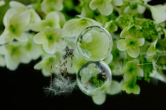 I hope just you're fine... (keiko*has) Tags: prerainyseason hydlangea marble dandelionseed mirror june 6月 梅雨前 紫陽花 クリスタル タンポポの種 鏡 hank