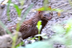 Think Mink (NaturalLight) Tags: mink chisholmcreekpark wichita kansas