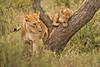 Lions of Maasai Kopjes 423 (Grete Howard) Tags: bestsafarioperator bestsafaricompany africa africansafari africanbush africananimals whichsafaricompany whichsafarioperator tanzania serengeti animals animalsofafrica animalphotos lions lioncubs maasaikopjes kopjes kopje