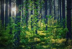Green (Explore 2017-06-16) (nillamaria) Tags: green grönt skog forest dogwood2017 dogwood52 dogwoodweek24 solsken sunlight artistic