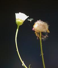 Wisp - EXPLORE #488, 07.08.17. (Kazooze) Tags: nature garden daisies macro explore