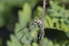 grande mangia piccolo (conteluigi66) Tags: libellula mangiare posa insetto d500 nikon macro bokeh natura nature animale animal luigiconte eat dragonfly