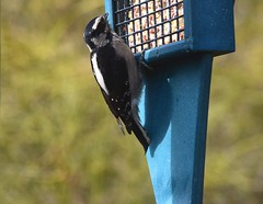 Downy Woodpecker (careth@2012) Tags: wildlife nature woodpecker downywoodpecker beak feathers bird britishcolumbia