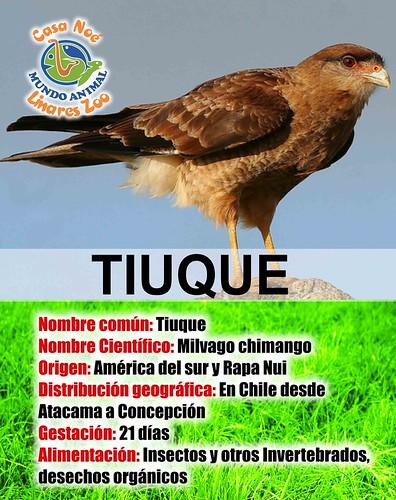 Tiuque
