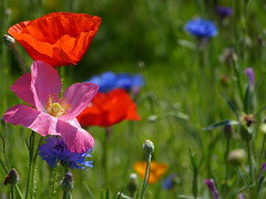 Red, pink and blue (joeke pieters) Tags: 1350059 panasonicdmcfz150 klaprozen klaproos poppy poppies korenbloem cornflower tuin garden