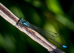 Blue Destress. (Omygodtom) Tags: bokeh bug damsel flickr insect blue tamron tamron90mm macro branch pretty 7dwf sunshine shadow nikkor natural nature dof d7100 diamond star