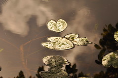 Magical (viliris) Tags: waterlily leaves pond water dark reflection movatn summer nordmarka nature sky green oslo