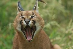 Caracal (charliejb) Tags: exmoorzoo exmoor devon wildlife 2017 holiday caracal feline fur furred furry teeth canines fangs yawn brattonfleming northdevon