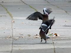 Woodpigeons squabbling, 2017 Jul 09 (Dunnock_D) Tags: uk unitedkingdom britain england chester two pigeons pigeon bird birds paving path flying walking