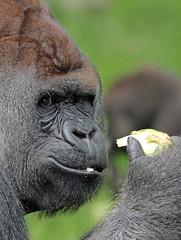 Bokito Blijdorp JN6A9031 (joankok) Tags: gorilla bokito blijdorp westelijkelaaglandgorilla westernlowlandgorilla laaglandgorilla lowlandgorilla aap ape monkey mensaap africa afrika zoogdier dier animal zilverrug silverback