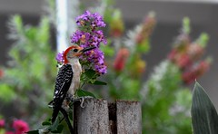 Red-bellied woodpecker (male) DSC_2530 (blthornburgh) Tags: thornburgh tampa florida bird redbelliedwoodpecker redbellied woodpecker phil flower bokeh nature naturetampa natureoutdoors outdoors pattern melanerpescarolinus plumage feathers blooms feedingstation palmstump noisy