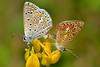 Polyommatus (Polyommatus) icarus (Rottemburg, 1775). Cópula (Jesús Tizón Taracido) Tags: lepidoptera papilionoidea lycaenidae polyommatinae polyommatini polyommatusicarus