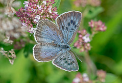JWL6727  Large Blue.. (jefflack Wildlife&Nature) Tags: butterflies butterfly largeblue lepidoptera insects insect countryside fields wildlife wildflowers meadows copse nature daneway