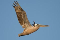 Bird in Flight - bif - California Brown Pelican (captured views) Tags: ef500mmf4lisiiusm14xiii birdinflight pelican californiabrownpelican brownpelican capturedviews capturingthelivinglandscape
