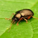 Leaf Beetle thumbnail