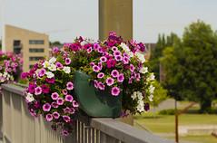 Flowers. (ost_jean) Tags: flowers fleurs bloemen colors ostjean nikon d5200 tamron sp 90mm f28 di vc usd macro 11 f004n