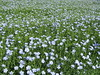 Flax flowers (wallygrom) Tags: england westsussex eastpreston kingstongorse kingstonlane linum flax flaxseed